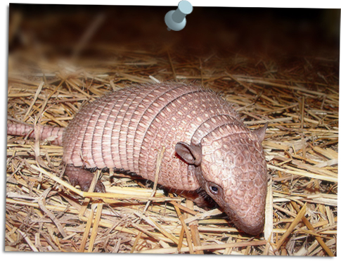 Armadillo_virginia_zoo