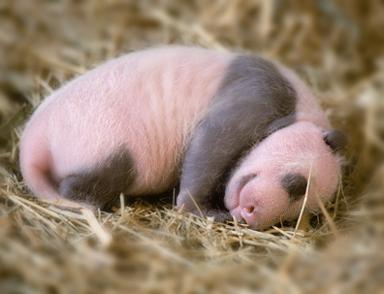 Cute_baby_panda_02