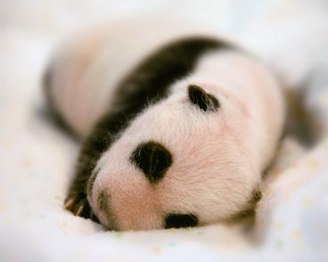 Cute_baby_panda_03