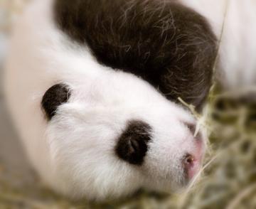 Cute_baby_panda_04