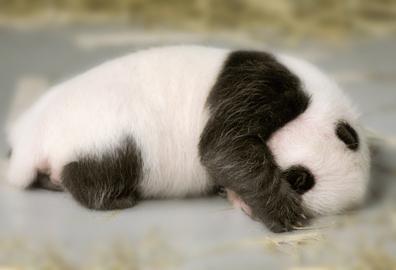 Cute_baby_panda_05