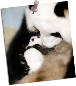 Cute_panda_mommy_2