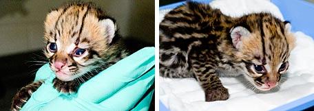 Ocelot kittens babies baby Woodland Park Zoo
