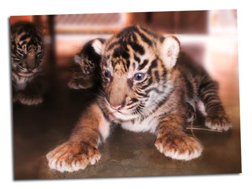 Tiger_cubs6