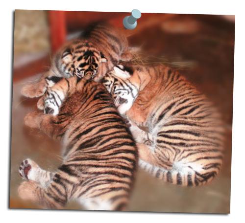 Tiger_cubs8