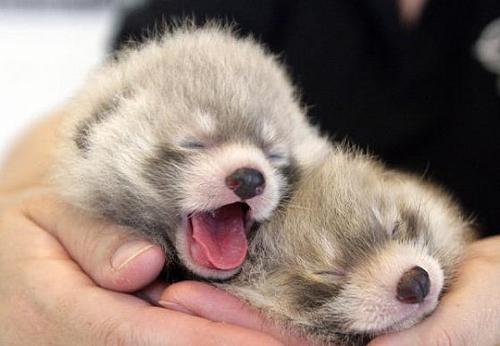 baby red panda cubs mouth cute cuddly edmonton valley zoo