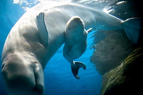 baby beluga shedd aquarium