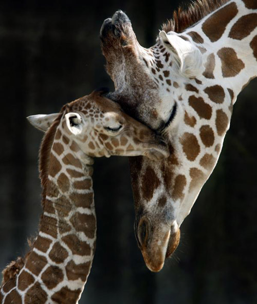 Second Baby Giraffe Born In Less Than Two Months At The Memphis Zoo