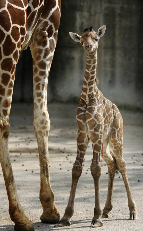 Second Baby Giraffe Born in Less Than Two Months at the ...