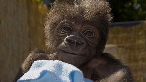 baby gorilla san diego zoo smiling