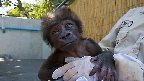 baby gorilla san diego zoo