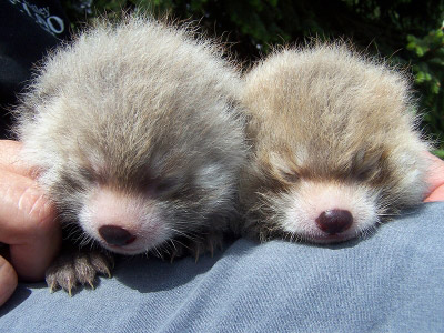 baby red panda cubs cute cuddly edmonton valley zoo